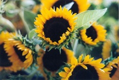 sunflower blog pic