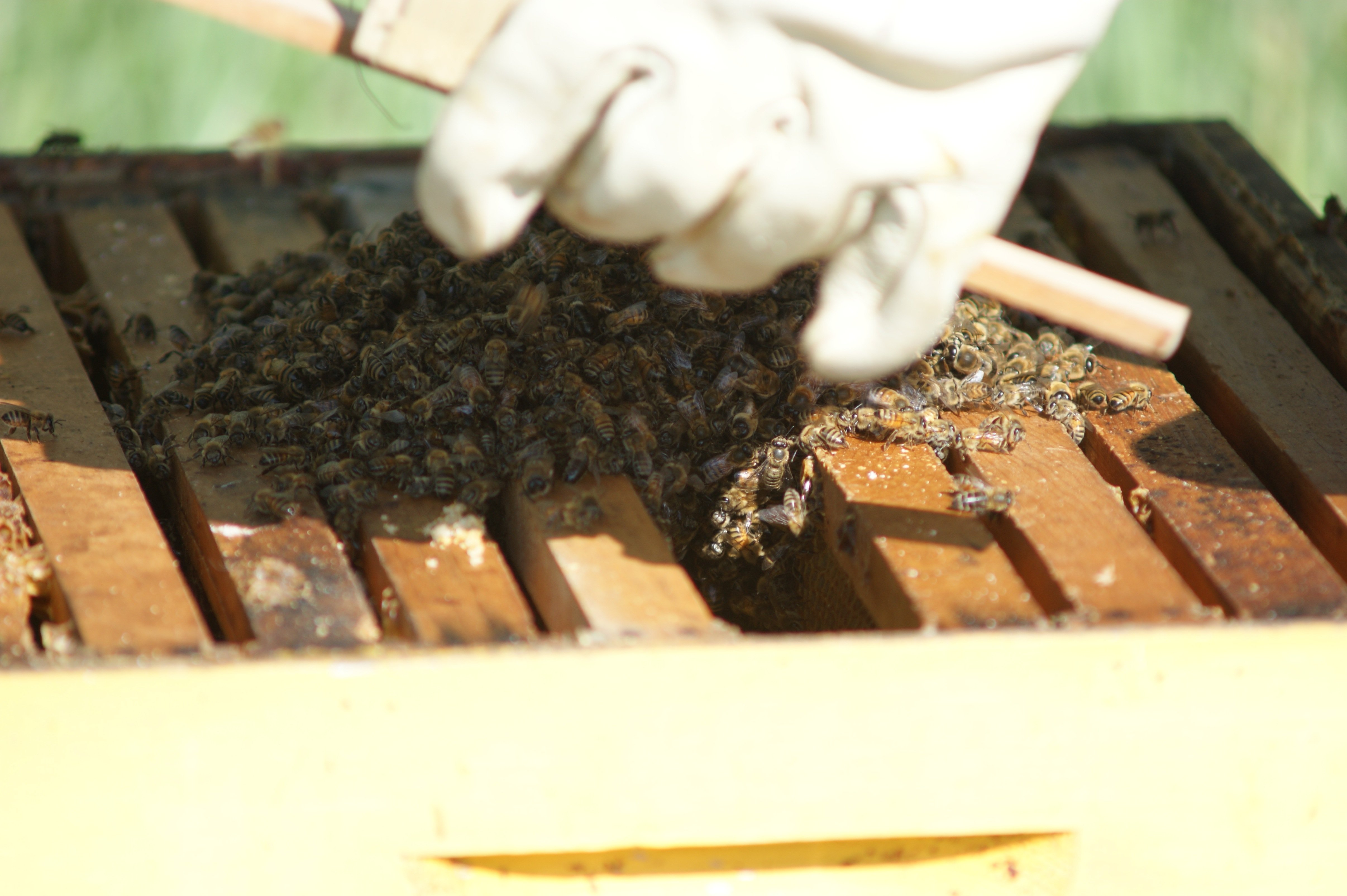 bees go into hive The last couple of days...