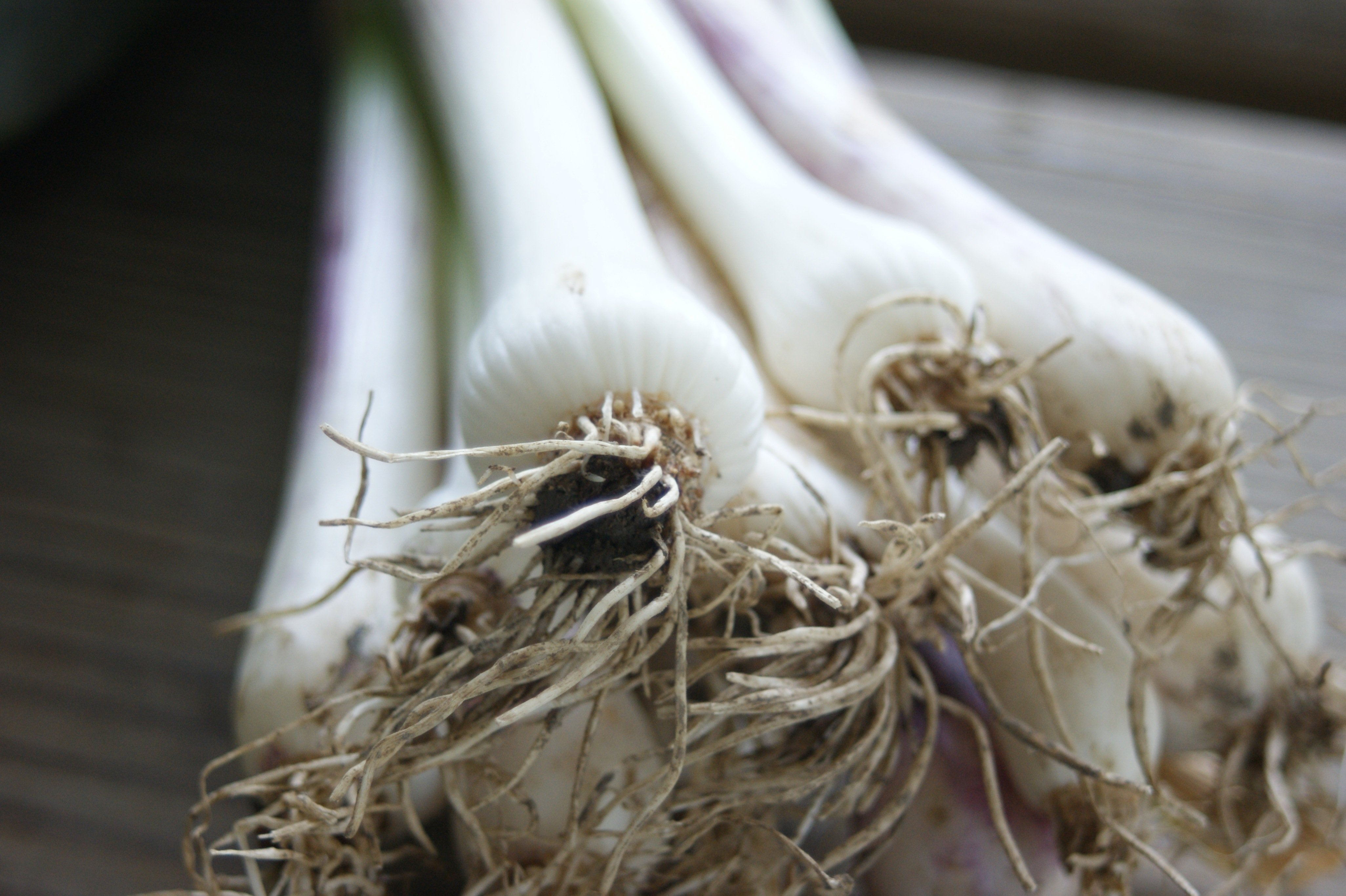 garlic shoots CSA Week #2 Complete