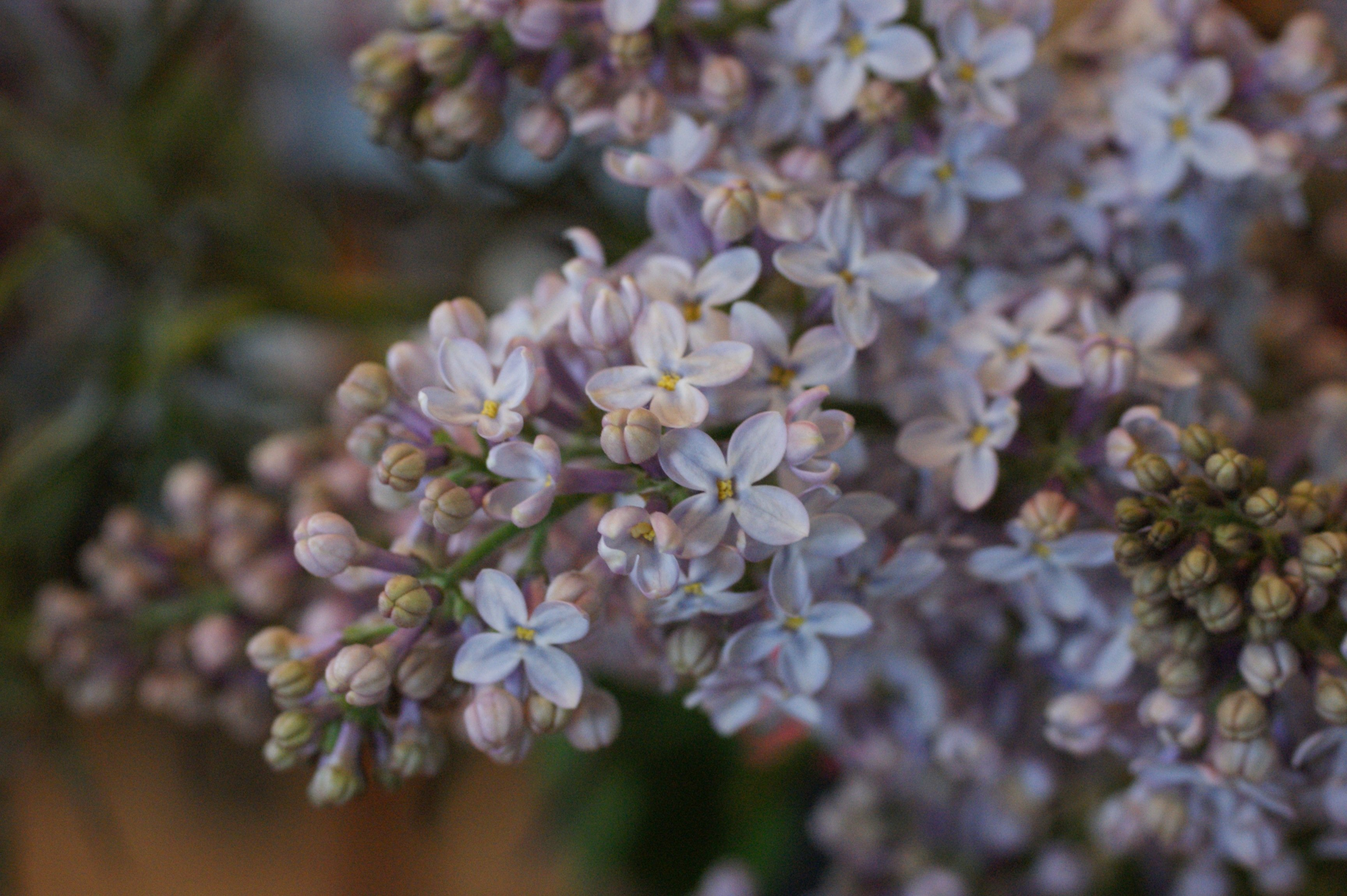 lilacs The last couple of days...