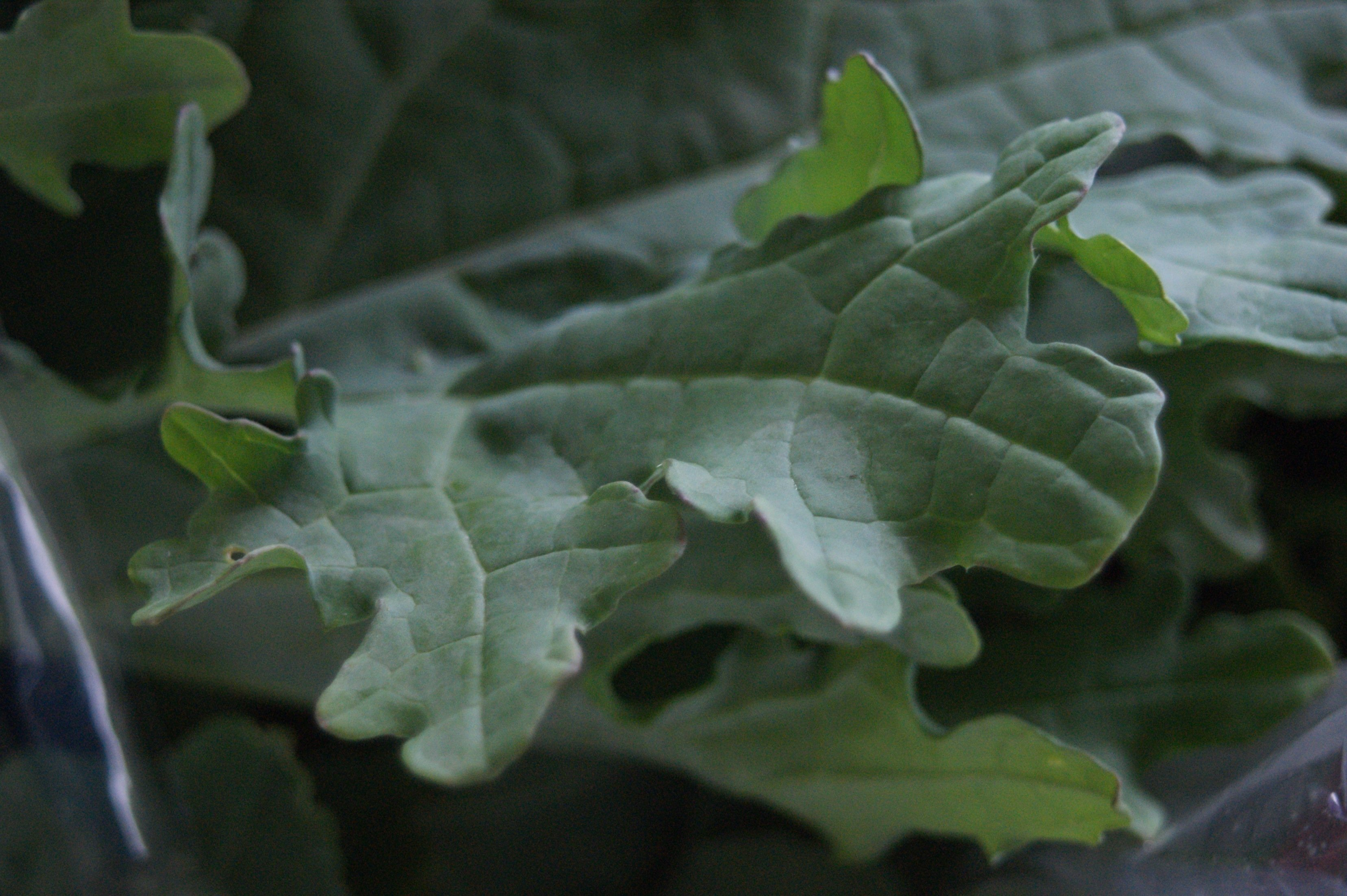 white russian kale up close CSA Week #2 Complete