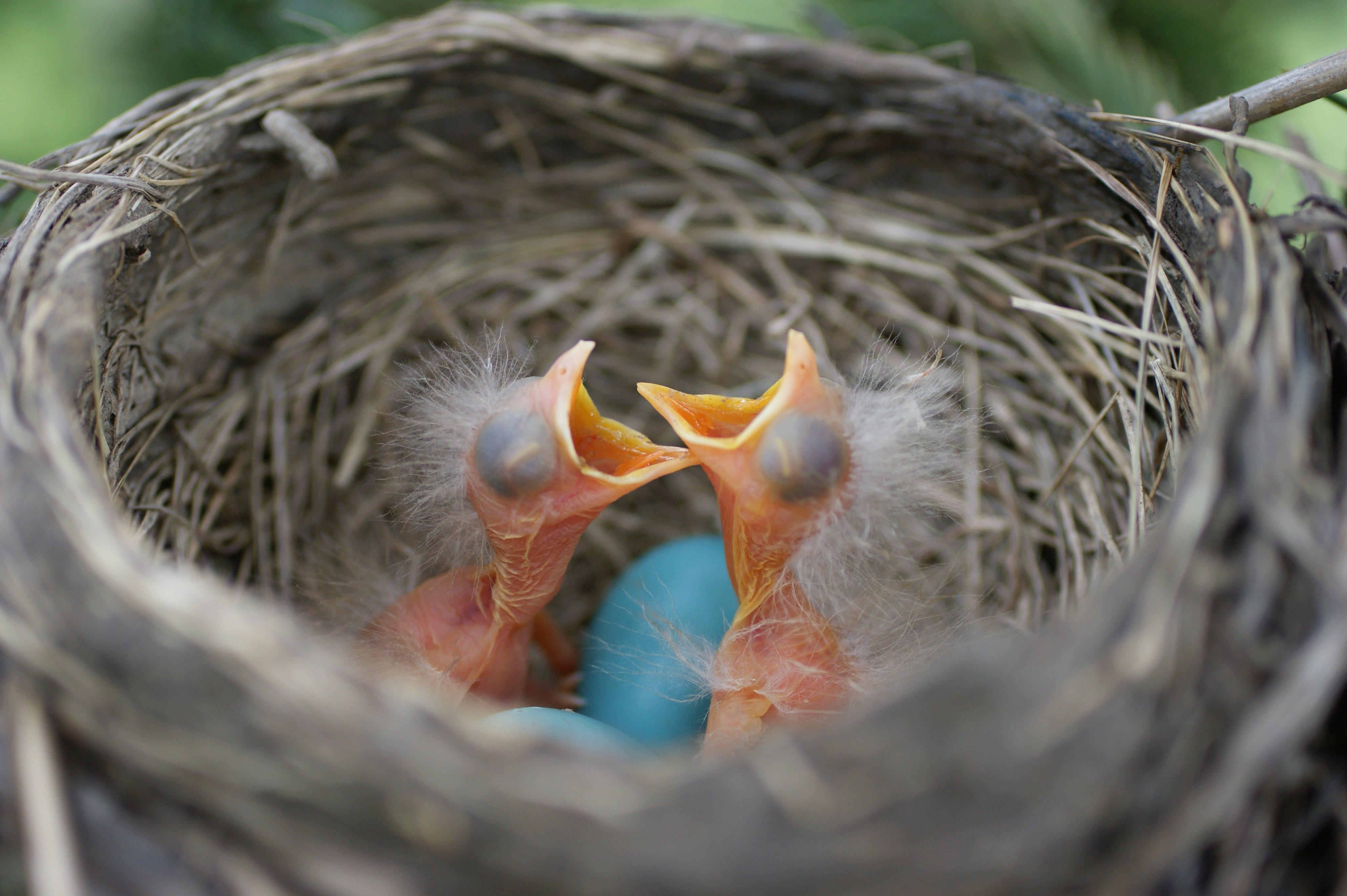 baby robins Looking around our Organic farm up close #2