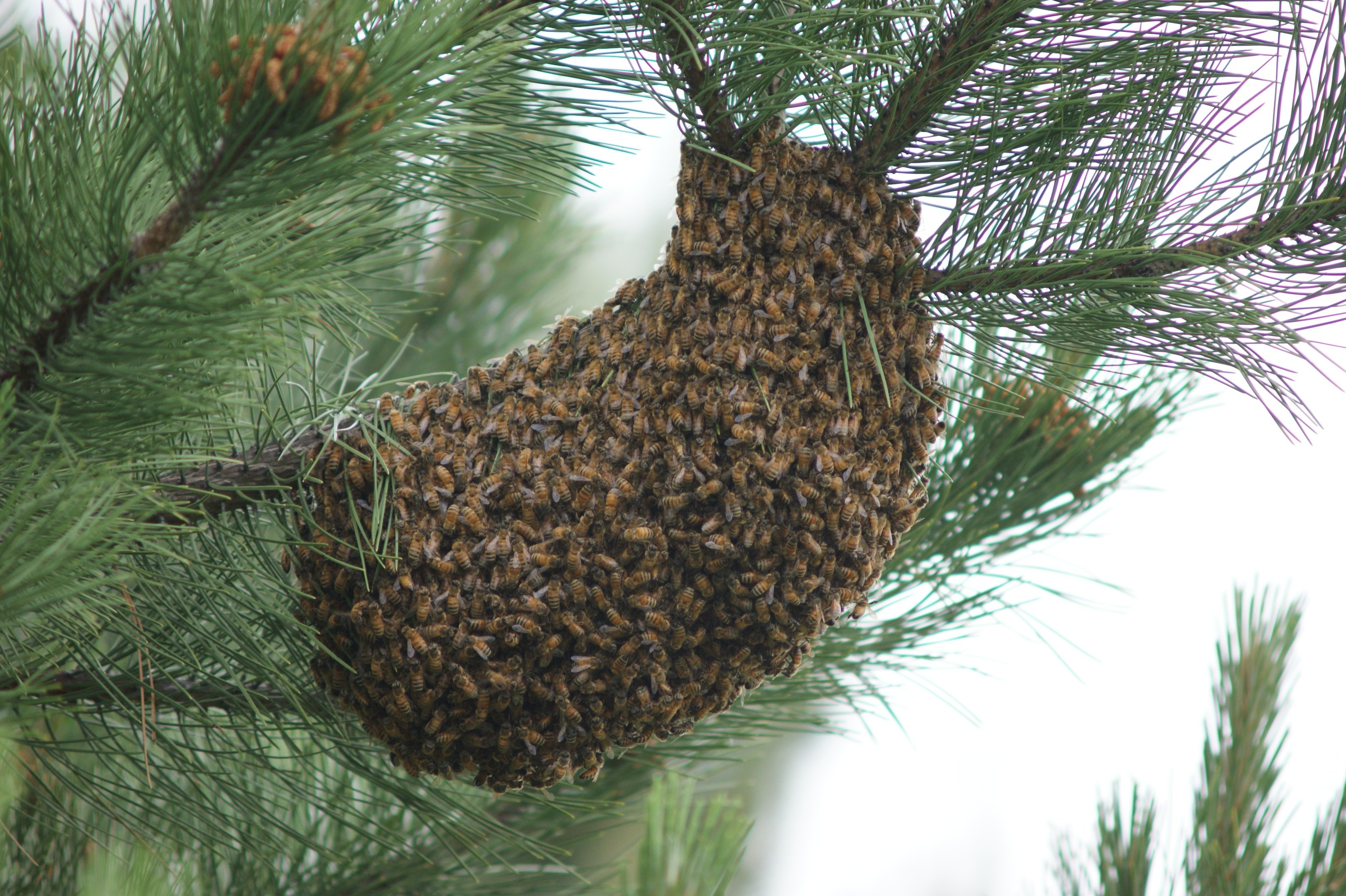 bee swarm CSA for Monday June 17