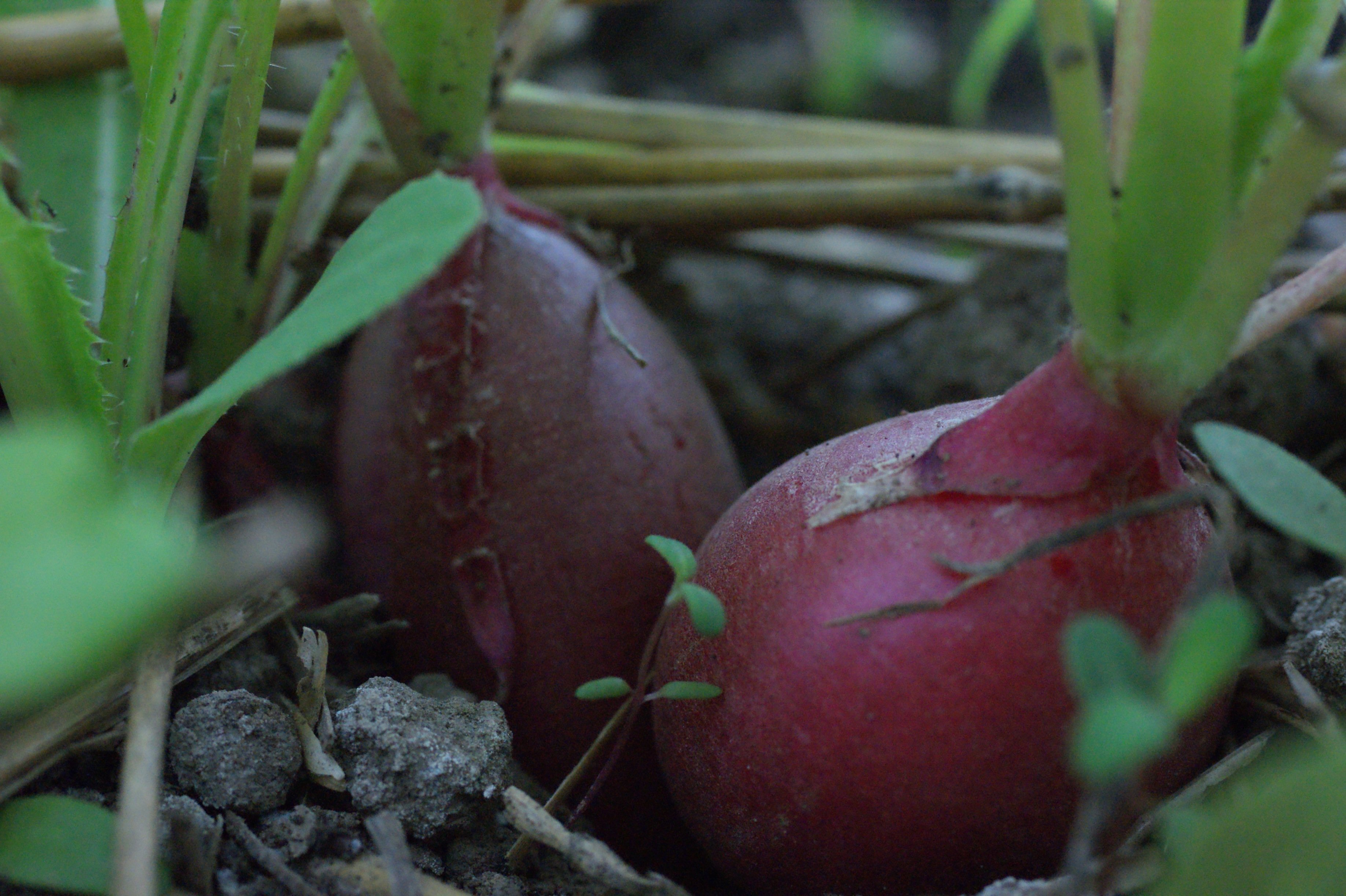 radish in ground close Looking around our Organic farm up close #2