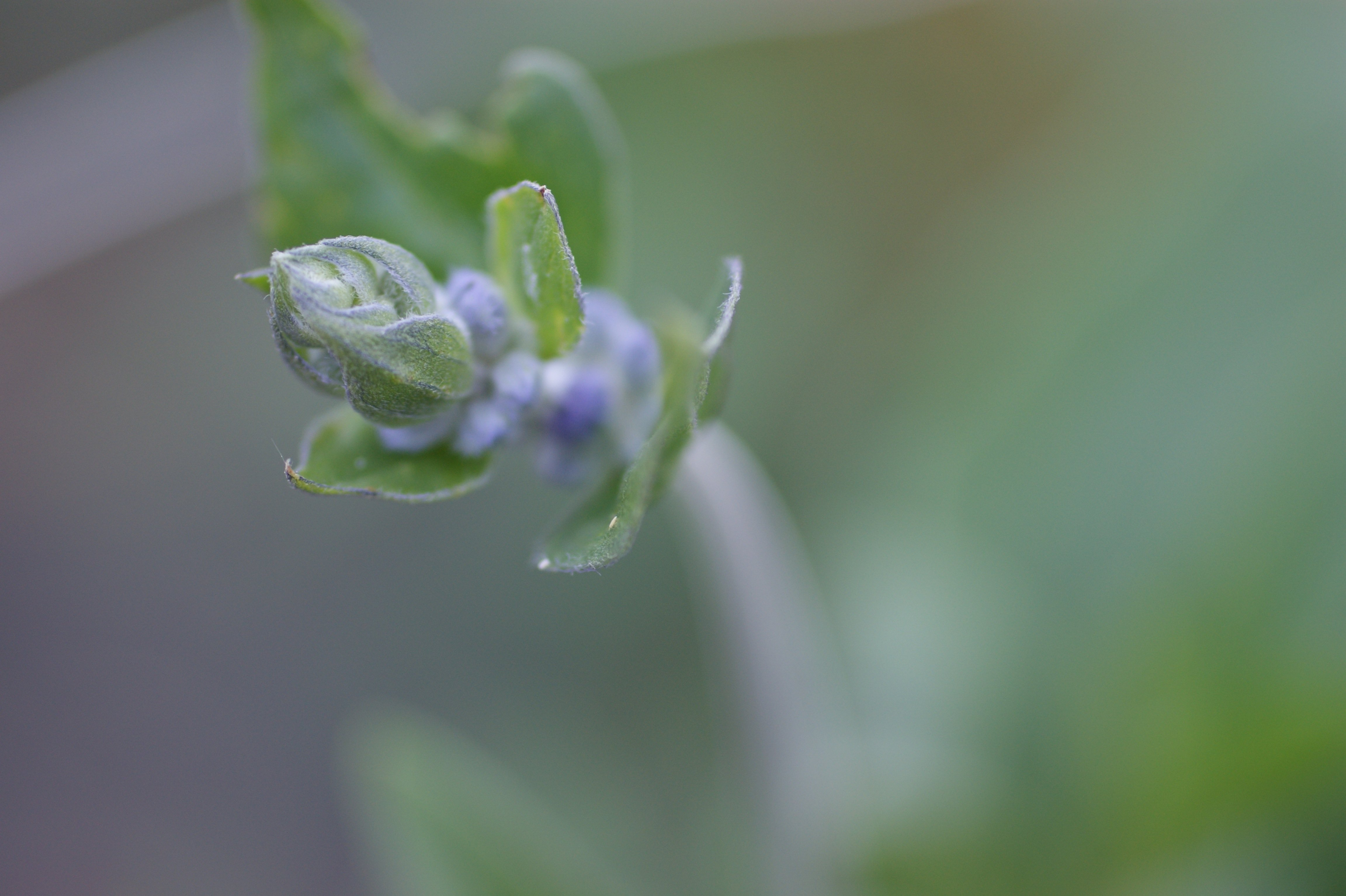 salvia blue bedder close Looking around our Organic farm up close #2