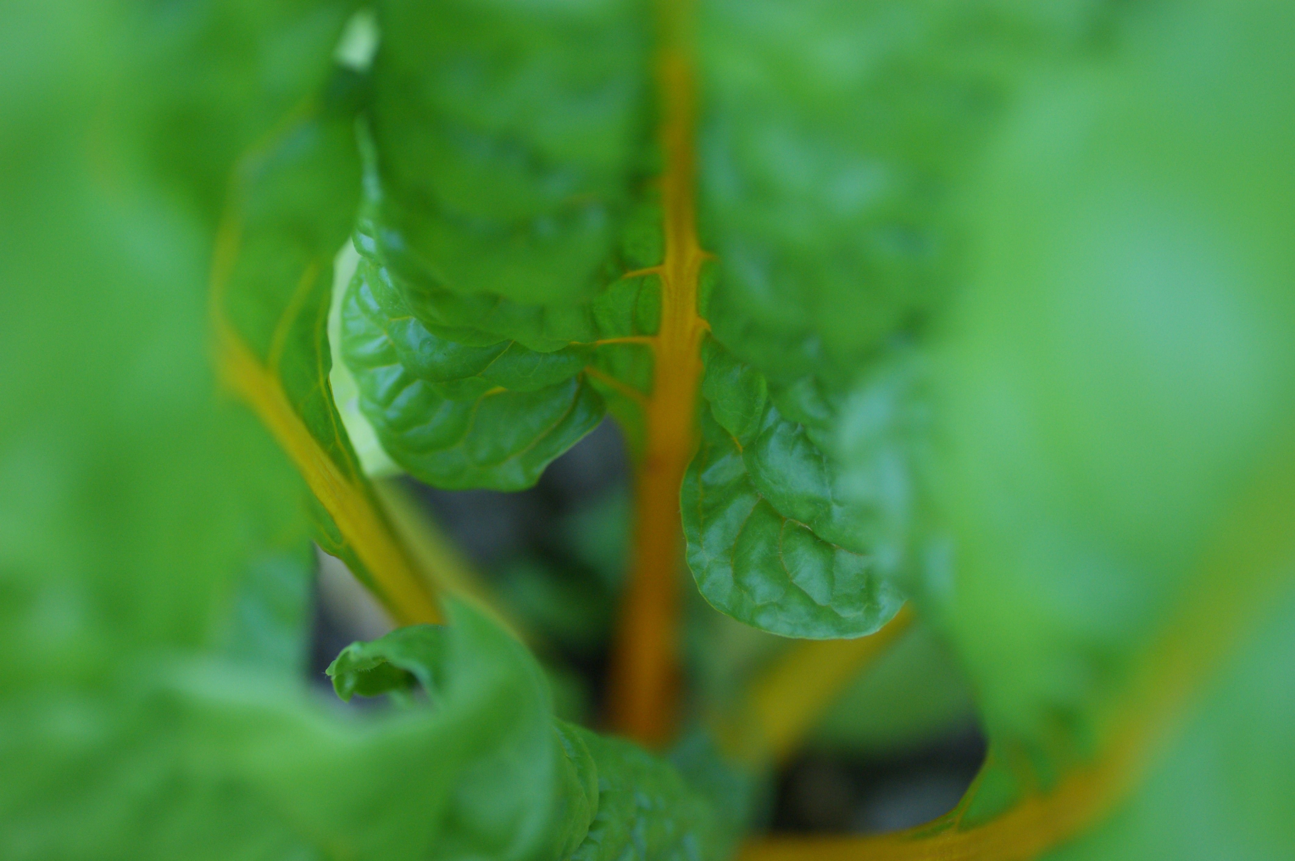 yellow chard close Looking around our Organic farm up close #2