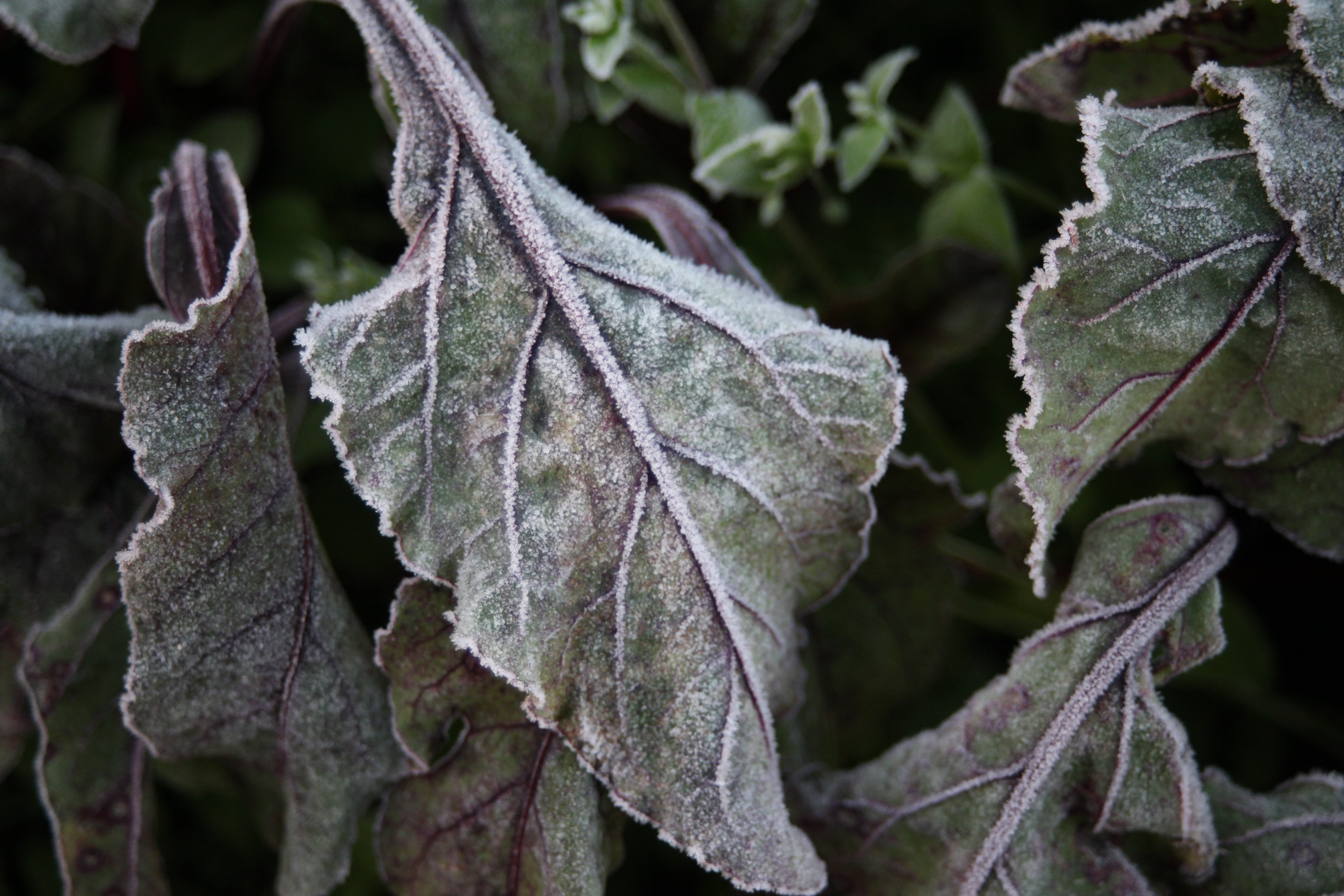 frost on beet leaves
