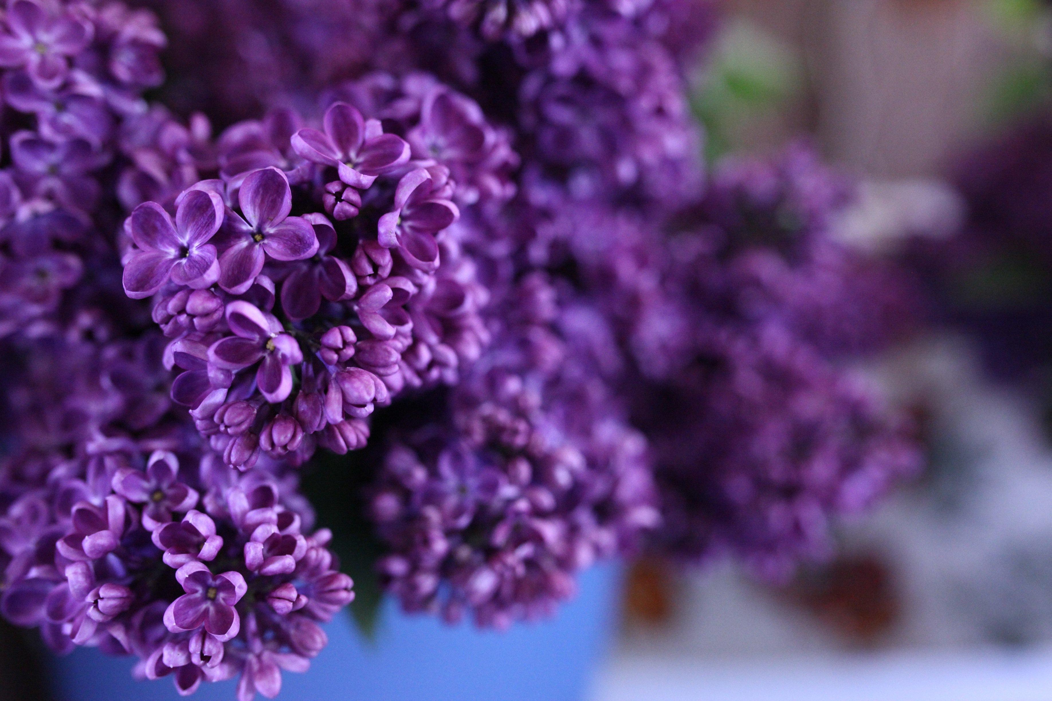 purple lilace @ may mrk