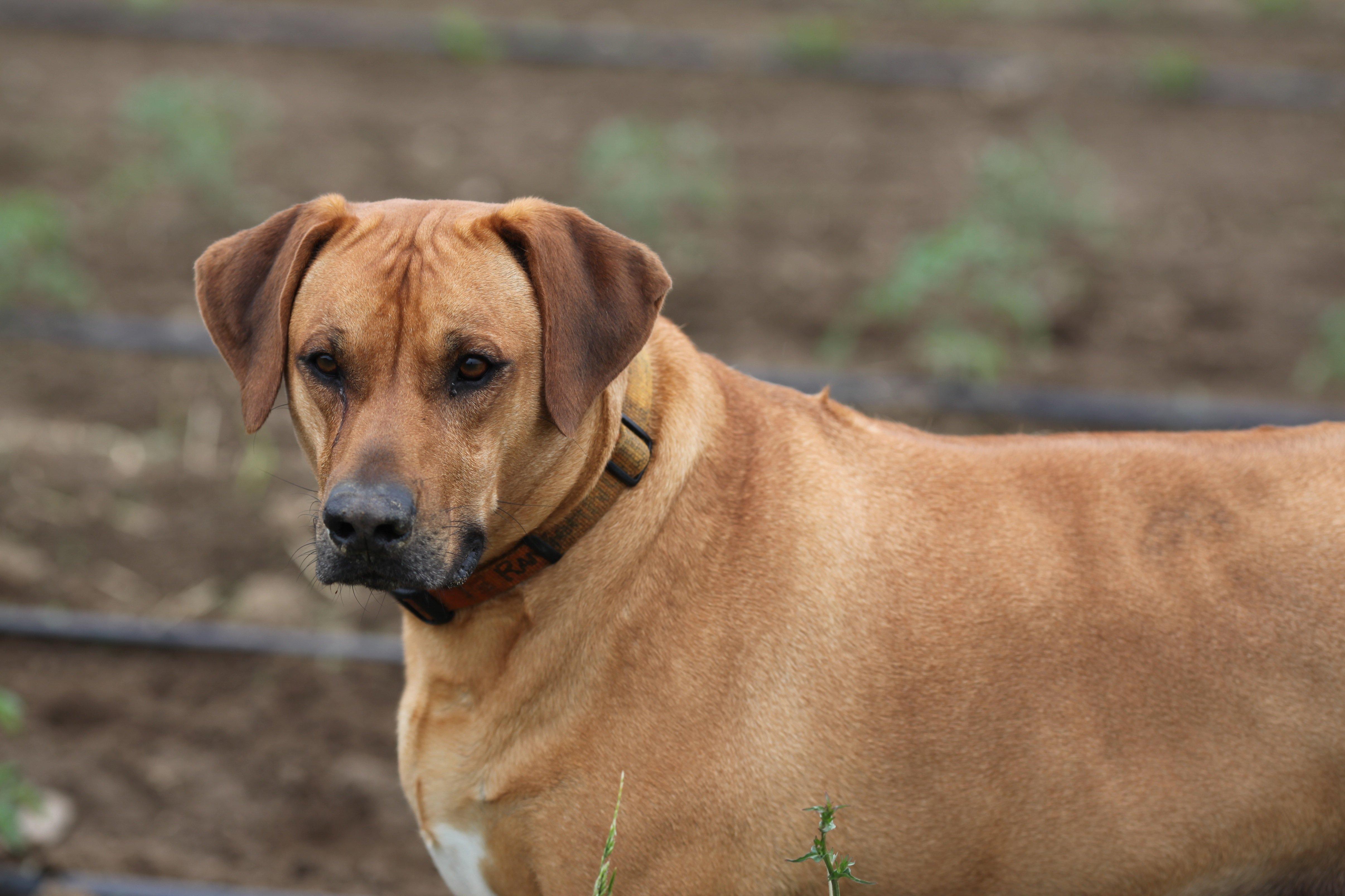 Ranger the farm dog