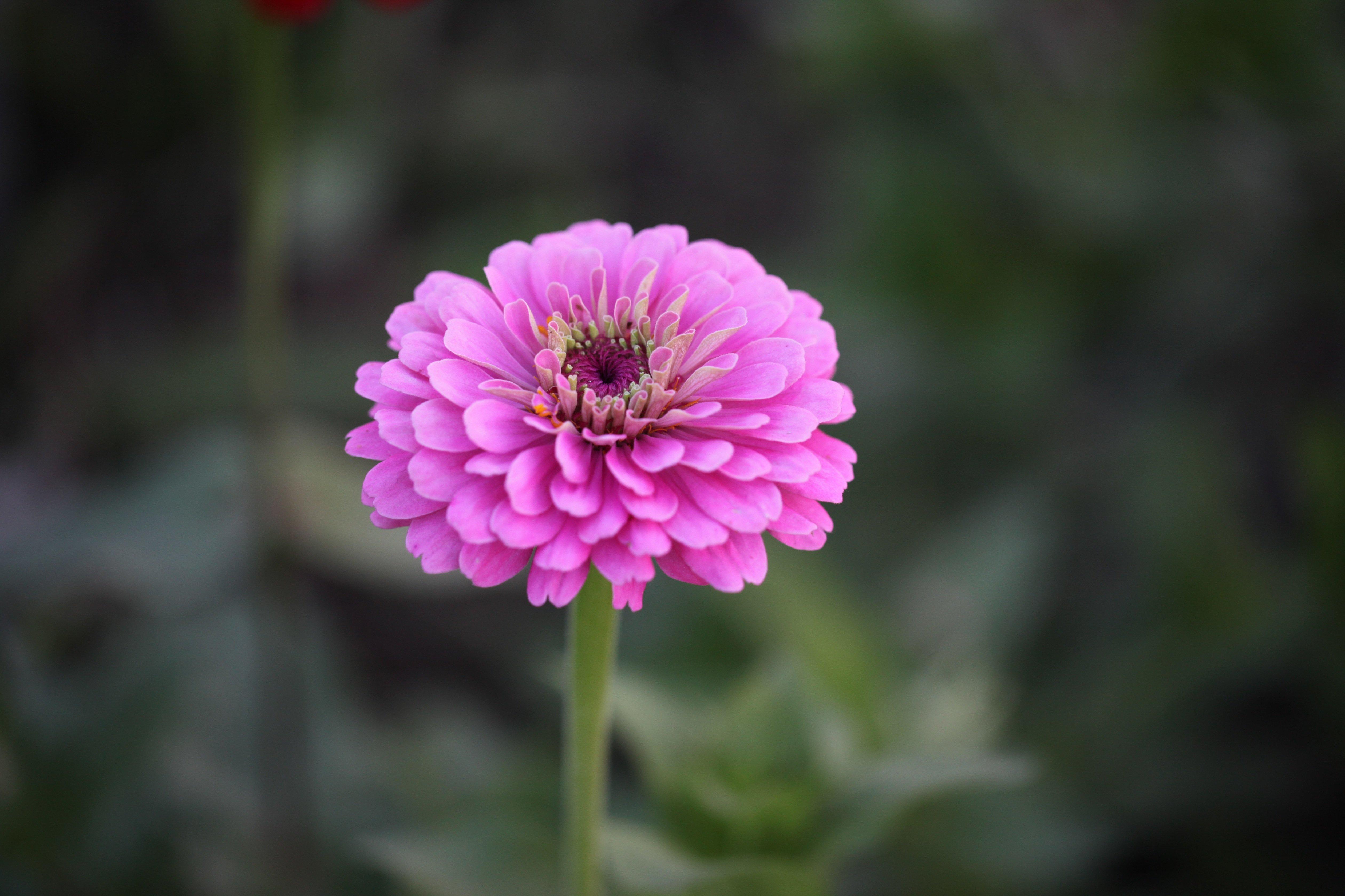 perfect pink zinnia