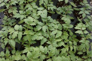 Little tomato plants