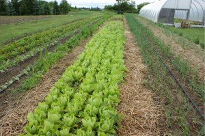 Owosso Organics Lettuce