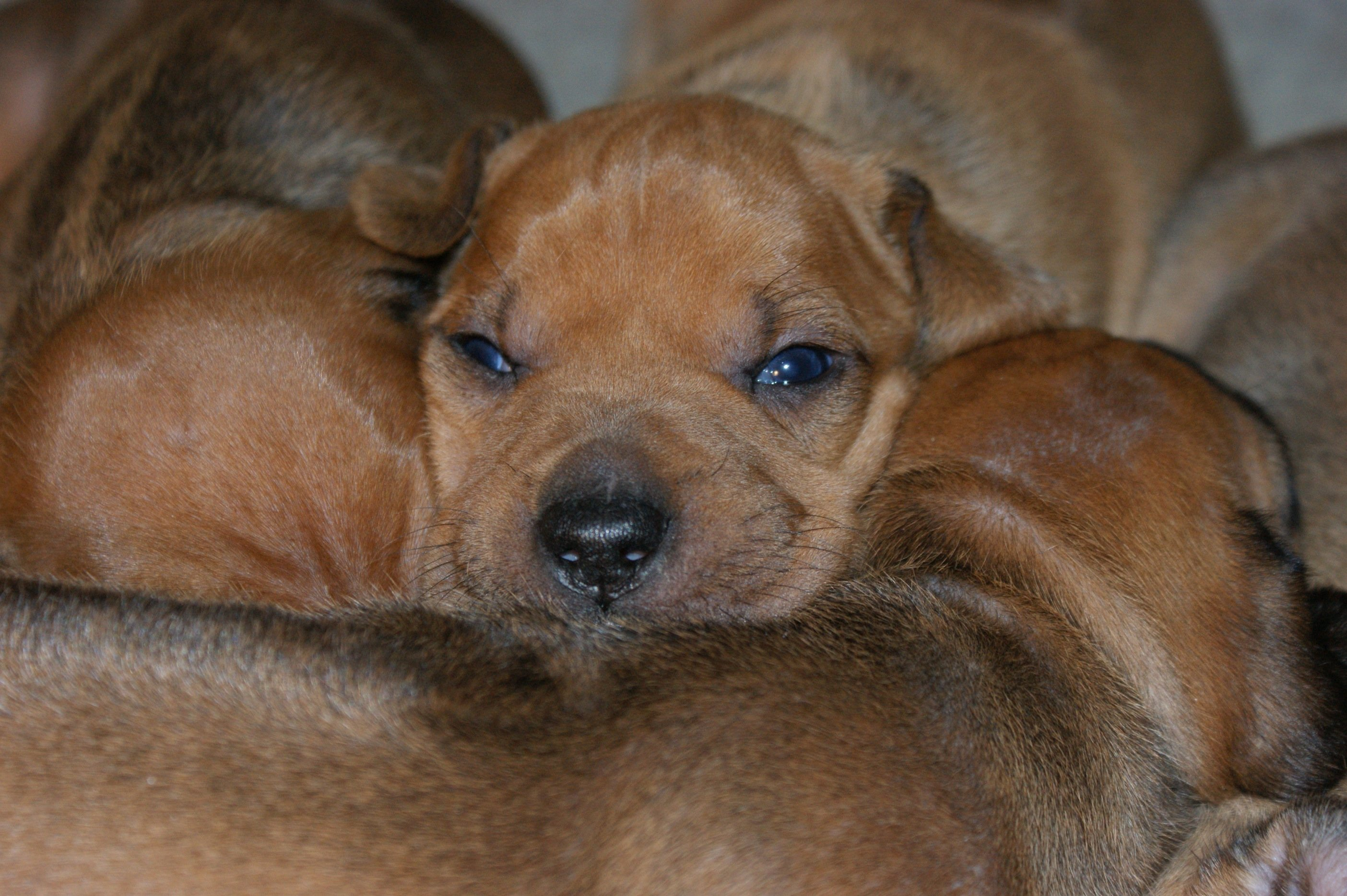 puppies @ two weeks