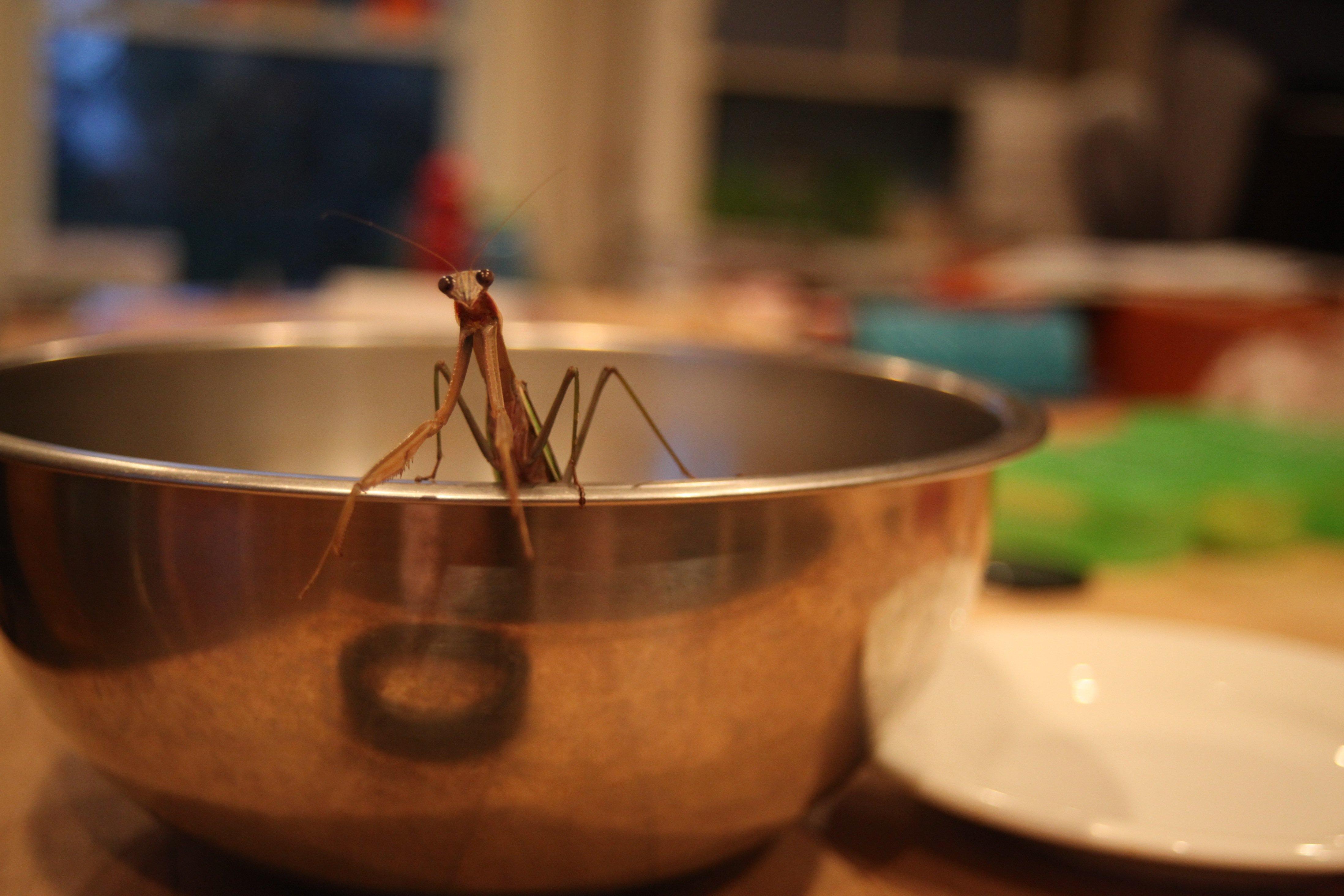 praying mantis in a bowl