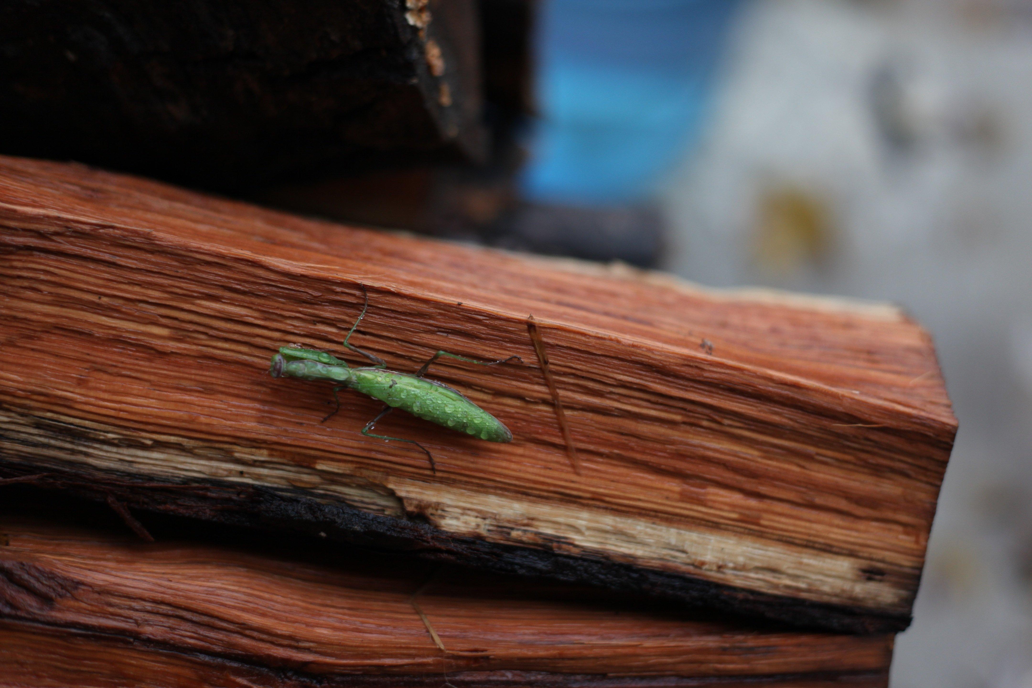 praying mantis on log