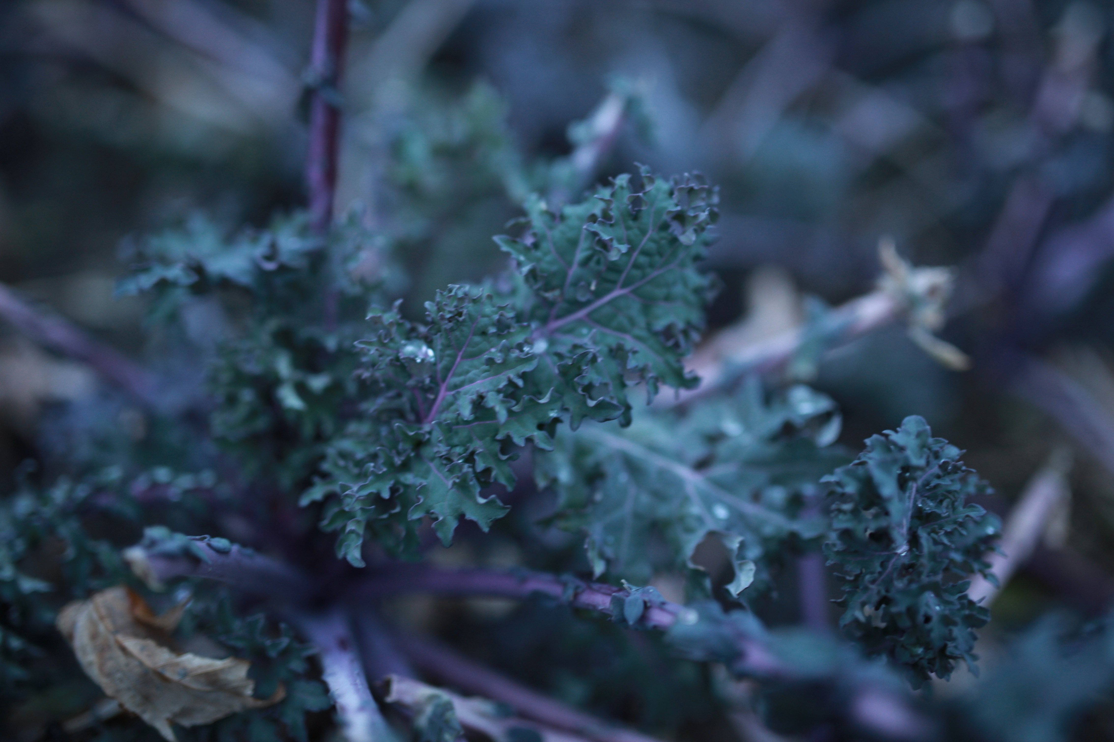 Kale in Nov