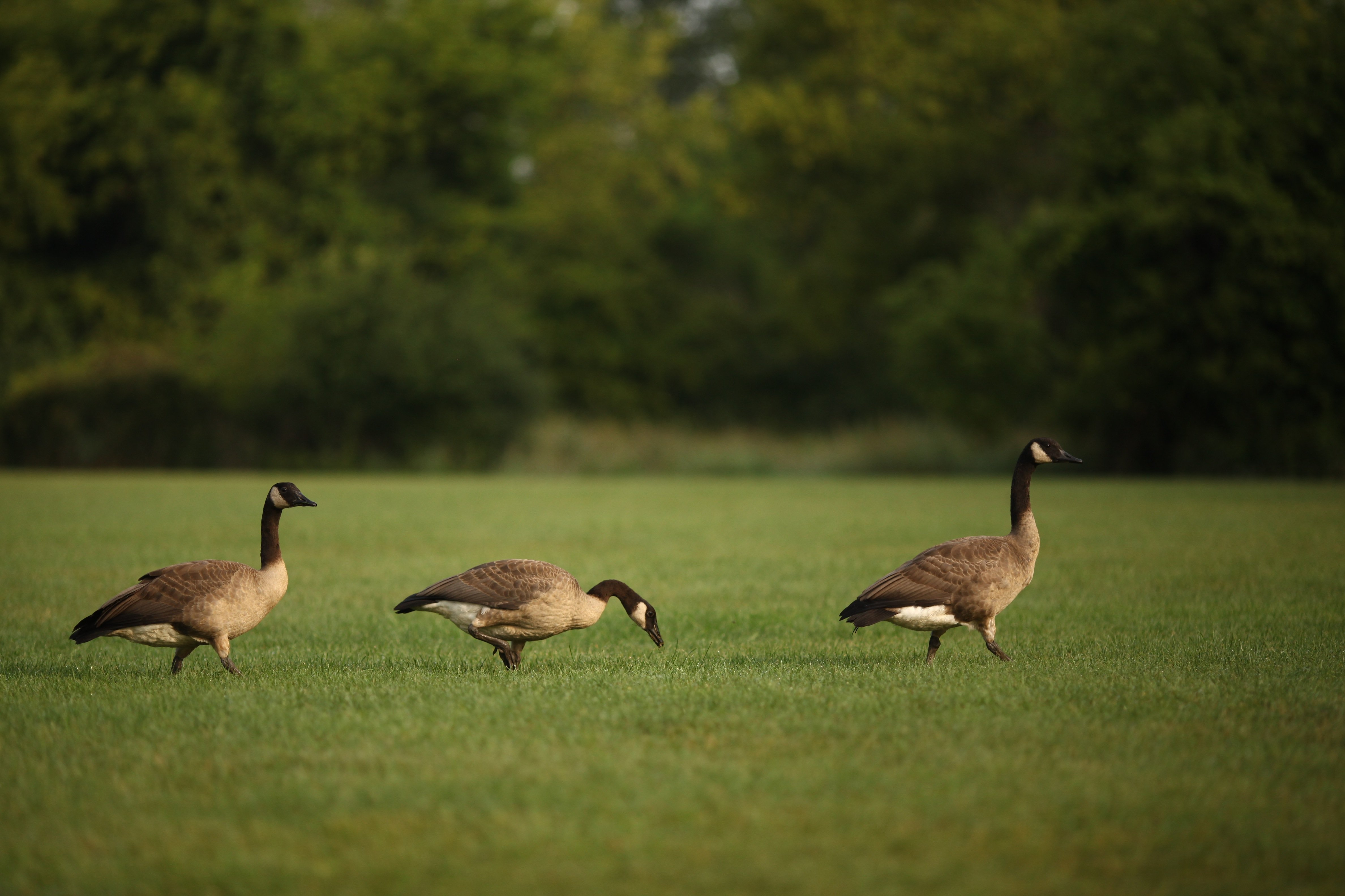 Ducks @ meridian